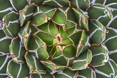 Agave plant leaves Stock Image
