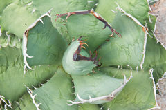 Agave plant leaves Royalty Free Stock Images
