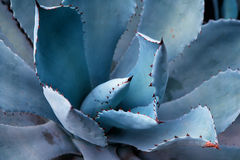 Agave plant leaves. Sharp pointed agave plant leaves Stock Photography