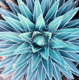 Agave plant leaves royalty free stock photography