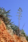 Agave plant in Mediterranean mountain. Outdoor Royalty Free Stock Image