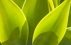 Agave plant in natural sunlight Stock Images