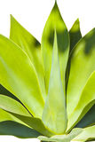 Agave plant in natural sunlight Royalty Free Stock Image