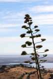 Agave plant near the Guadiana River in Portugal Royalty Free Stock Image