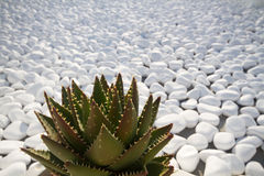 Agave. Plant in oia, santorini Royalty Free Stock Image
