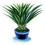 Agave plant in pot isolated on white Royalty Free Stock Image