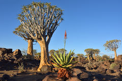 Agave plant and quiver trees, Namibia, Africa Royalty Free Stock Photo