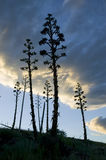 Agave Plant Slihouette Stock Images