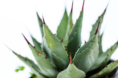 Agave plant. Small agave plant on a white background Royalty Free Stock Photos