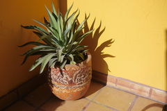 Agave plant spikey green in a pattern pot plant Royalty Free Stock Photography