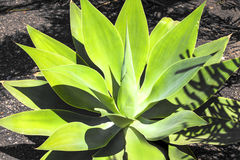 Agave plant in  sunlight Stock Photos