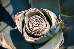 Agave plant usection Stock Photos