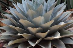 The agave is a plant from which a liquid is distilled that serves to make the famous Mexican tequila. Its area of ​​origin is the arid region that royalty free stock images