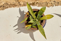 Agave Plant on White Wall. Agave Plant in Brown Pot on White Wall Royalty Free Stock Photo