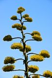 Agave plant with yellow flowers Royalty Free Stock Photo