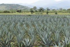 Agave plantation Stock Image