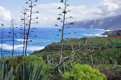 Agave plants. At the edge from bnana plantations in El Rincon, Tenerife, Canary Islands, Spain Stock Images