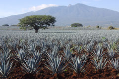 Agave plants Royalty Free Stock Images