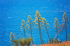 Agave plants. Against deep blue sea Stock Photos