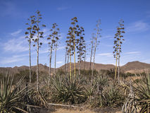 Agave plants in Almería, Spain Royalty Free Stock Photo