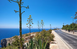 Agave plants along road on south coast of Malta island. With view on Mediterranean sea Stock Photo
