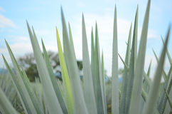 Agave plants Royalty Free Stock Image