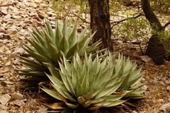 Agave plants. Royalty Free Stock Images