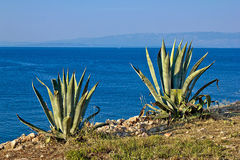 Agave plants by the sea - aloe Stock Photo
