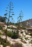 Agave plants  on south coast of Malta. Island Royalty Free Stock Photography