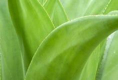 Agave plat close up Royalty Free Stock Photo