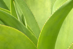 Agave plat close up Stock Photography