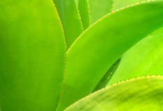 Agave plat close up Royalty Free Stock Photography