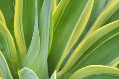 Agave plat close up Stock Images