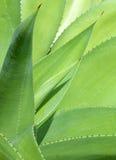 Agave plat close up Royalty Free Stock Image