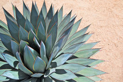 Agave portrait Stock Photography