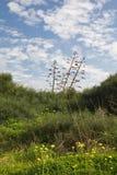 Agave in prato e cielo blu verdi Immagini Stock Libere da Diritti