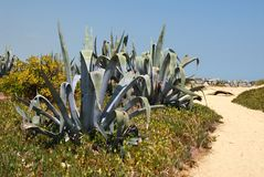 Agave and road sand Royalty Free Stock Photography
