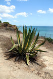 Agave on the Rocks stock photo