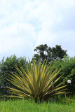 Agave sisalana  Perr. Royalty Free Stock Image