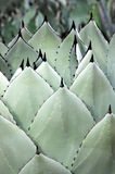 Agave Spears. Rows of fresh agave leaves stock photo