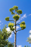 Agave starts to bloom Stock Images