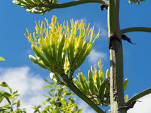 Agave starts to bloom Royalty Free Stock Photos