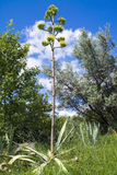 Agave starts to bloom Royalty Free Stock Image