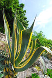 Agave 02 Royalty Free Stock Photos