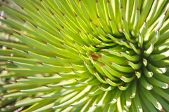 Free Agave Stricta Royalty Free Stock Photo - 81986195