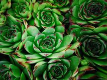 Agave succulent cactus royalty free stock image