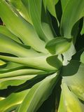 Agave. Succulent garden agave Royalty Free Stock Photo