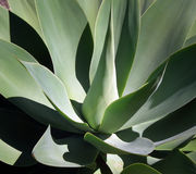Agave, succulent plant. Stock Photo