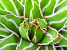 Succulent plant close-up, fresh leaves detail of Agave victoriae reginae. Agave succulent plant, freshness leaves with thorn of Queen victoria century agave stock image