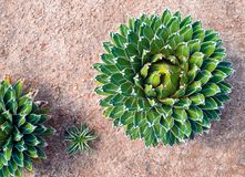Succulent plant close-up, fresh leaves detail of Agave victoriae reginae. Agave succulent plant, freshness leaves with thorn of Queen victoria century agave royalty free stock photos